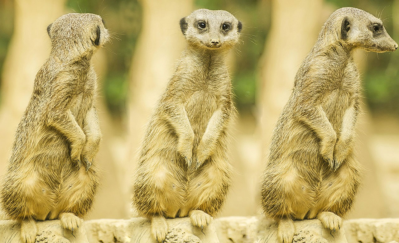 Les suricates du Cameroun