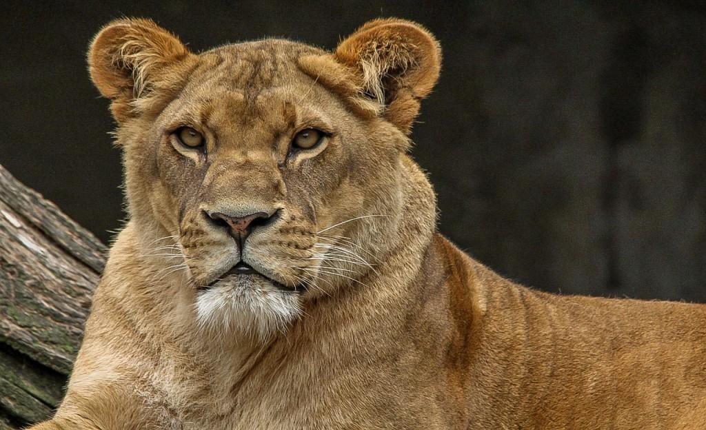 lion des parcs du Cameroun