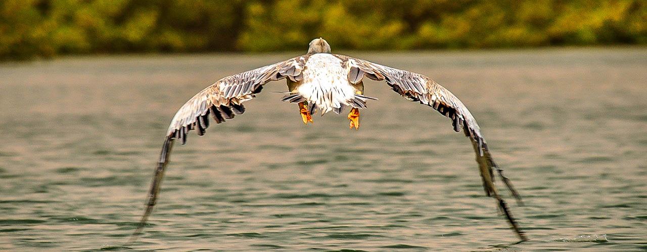 pelican au Cameroun