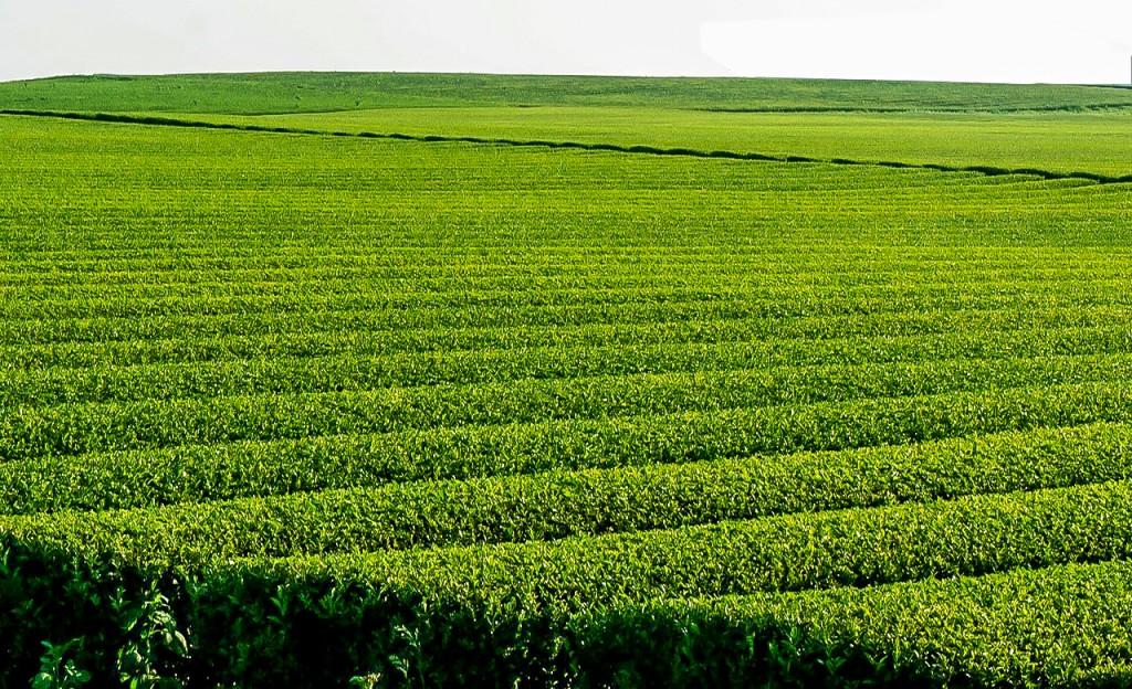 Plantations de the au Cameroun