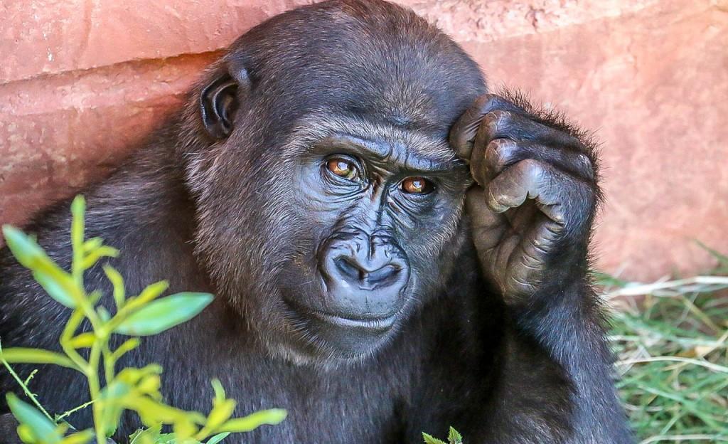 Gorille au Cameroun