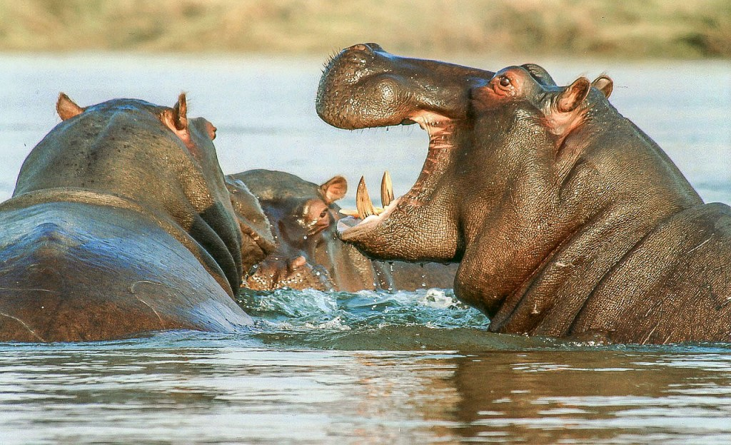Hippopotames au Cameroun