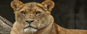 lion des parks du Cameroun