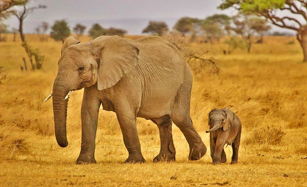 Famille d'elephants au Cameroun