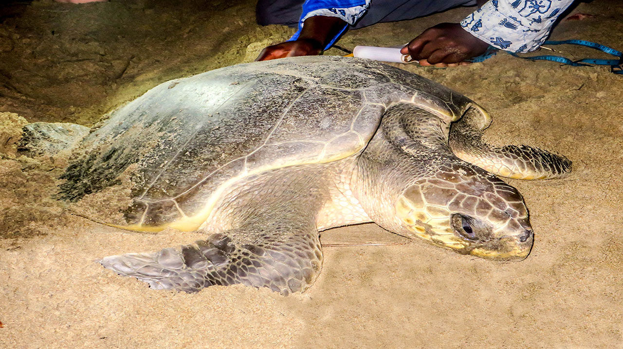 Ebodje tortues marines