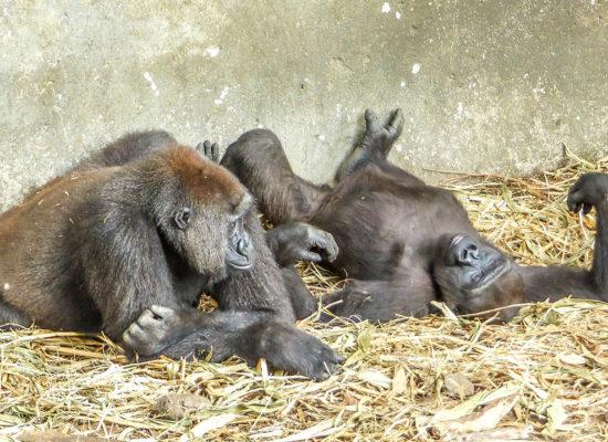 Gorilles au cameroun